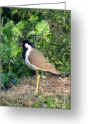 Lapwing Photo Greeting Cards - Red Wattled Lapwing 4 Greeting Card by Padamvir Singh