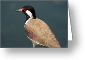 Lapwing Photo Greeting Cards - Red Wattled Lapwing Greeting Card by Alvin Jonathan