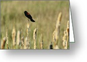 Complex Greeting Cards - Red-winged Blackbird Agelaius Greeting Card by Phil Schermeister