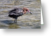 Morph Greeting Cards - Reddish Egret - Puffed for Action Greeting Card by Phil Stone