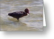 Morph Greeting Cards - Reddish Egret and lunch Greeting Card by Phil Stone