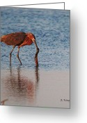 Surf Fishing Photo Greeting Cards - Reddish Egret Checking it Out Greeting Card by Roena King