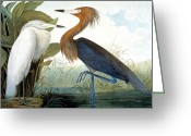 Lithograph Greeting Cards - Reddish Egret, Greeting Card by Granger