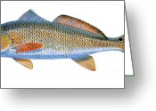 Mutton Greeting Cards - Redfish Greeting Card by Carey Chen