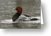 Snow Storm Prints Greeting Cards - Redhead Duck Flapping its Wings Greeting Card by Inspired Nature Photography By Shelley Myke