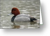 Snow Storm Prints Greeting Cards - Redhead Duck in a Winter Snow Storm Greeting Card by Inspired Nature Photography By Shelley Myke