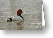 Snow Storm Prints Greeting Cards - Redhead Duck in winter Snow Storm Greeting Card by Inspired Nature Photography By Shelley Myke