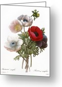 Redoute Greeting Cards - Redoute: Anemone, 1833 Greeting Card by Granger