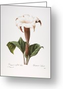 Jimson Weed Greeting Cards - Redoute: Datura, 1833 Greeting Card by Granger