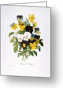 Tricolor Greeting Cards - Redoute: Pansy, 1833 Greeting Card by Granger