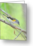 American Redstart Greeting Cards - Redstart with Worm Greeting Card by Alan Lenk