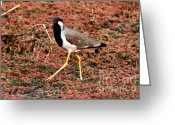 Lapwing Greeting Cards - Redwattled Lapwing Greeting Card by Pravine Chester