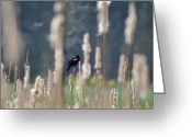 Red Wing Blackbird Greeting Cards - RedWinged Blackbird Greeting Card by Bill Cannon