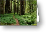 Redwood Greeting Cards - Redwood Forest Path Greeting Card by Melany Sarafis