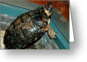 Wood Turtle Greeting Cards - Reflecting Turtle Greeting Card by LeeAnn McLaneGoetz McLaneGoetzStudioLLCcom
