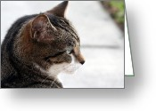 Gray Tabby Greeting Cards - Reflections Greeting Card by April Wietrecki
