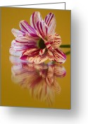 Claire Copley Greeting Cards - Reflections of Summer - Striped Gerbera Flower Greeting Card by Pixie Copley