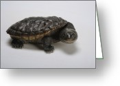 Resting Animals Greeting Cards - Reimanns Snake-necked Turtle, Chelodina Greeting Card by Joel Sartore