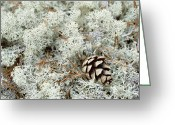 Lichen Image Greeting Cards - Reindeer Moss Cladonia Rangiferina Greeting Card by Konrad Wothe