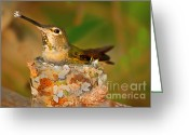 Bird Cards Greeting Cards - Repairing  Greeting Card by Robert Bales