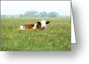 Livestock Greeting Cards - Resting Cow In  Field Greeting Card by MarcelTB