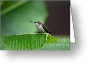Banana Tree Greeting Cards - Resting On A Banana Leaf Greeting Card by Kathy Gibbons