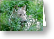 Beautiful Face Wolf Greeting Cards - Resting Place Greeting Card by Debra     Vatalaro