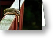 Resting Greeting Cards - Resting Squirrel Greeting Card by  Onyonet  Photo Studios