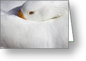 Waterbird Greeting Cards - Resting White Goose  Greeting Card by Phyllis Denton