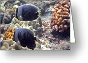 Tropical Fish Greeting Cards - Reticulated Butterflyfish Greeting Card by Bette Phelan