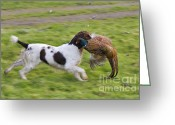Ringnecked Greeting Cards - Retrieve - D002796 Greeting Card by Daniel Dempster