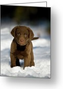 Connecticut Greeting Cards - Retriever Puppy In Snow Greeting Card by Copyright © Kerrie Tatarka