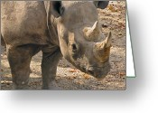 Safari Greeting Cards - Rhinoplasty Greeting Card by Slade Roberts
