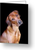 Dogs Digital Art Greeting Cards - Rhodesian Ridgeback Greeting Card by Julie L Hoddinott