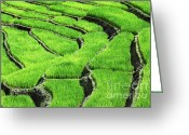 Scenary Greeting Cards - Rice Field Greeting Card by Gualtiero Boffi