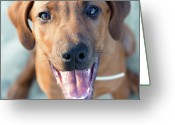 Animal Portrait Greeting Cards - Ridgeback Puppy Greeting Card by Maarten van de Voort Images & Photographs