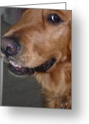 Retriever Prints Photo Greeting Cards - Right I believe you Greeting Card by Debbie Poetsch
