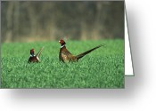 Tail Feather Greeting Cards - Ring-necked Pheasant Phasianus Greeting Card by Konrad Wothe