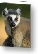 Berenty Private Reserve Greeting Cards - Ring-tailed Lemur Calling Greeting Card by Cyril Ruoso