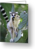 Berenty Private Reserve Greeting Cards - Ring-tailed Lemur Eating Opuntia Greeting Card by Cyril Ruoso