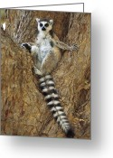 Berenty Private Reserve Greeting Cards - Ring-tailed Lemur In A Tree Greeting Card by Cyril Ruoso