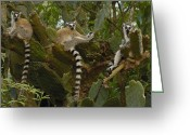 Berenty Private Reserve Greeting Cards - Ring-tailed Lemur Lemur Catta Trio Greeting Card by Pete Oxford