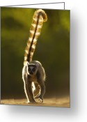 Berenty Private Reserve Greeting Cards - Ring-tailed Lemur Lemur Catta Walking Greeting Card by Pete Oxford