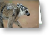 Berenty Private Reserve Greeting Cards - Ring-tailed Lemur Mom And Baby Greeting Card by Cyril Ruoso