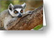Berenty Private Reserve Greeting Cards - Ring-tailed Lemur Resting Greeting Card by Cyril Ruoso