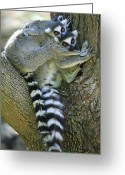 Berenty Private Reserve Greeting Cards - Ring-tailed Lemurs Madagascar Greeting Card by Cyril Ruoso