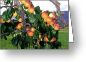 Apricots Photo Greeting Cards - Ripe Apricots Greeting Card by Will Borden