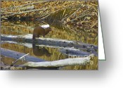 Autumns Mixed Media Greeting Cards - River Otter Enjoying a Sunny Day - Boise River Greenbelt Greeting Card by Photography Moments - Sandi