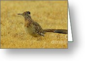 Runner Photo Greeting Cards - Roadrunner Hen Greeting Card by Robert Frederick