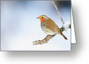 Side View Greeting Cards - Robin (erithacus Rubecula) Greeting Card by Andrew Howe